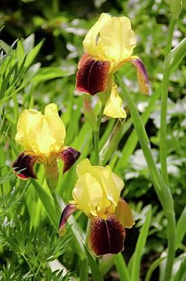 Iris Germanica 'rajah' Flowers Poster by Adrian Thomas