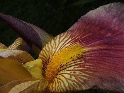 Poster featuring the photograph Iris In Pink And Yellow by Gene Cyr