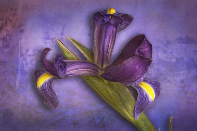 Poster featuring the photograph Iris Number Six by Bob Coates