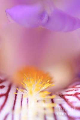Iris Poster by Rebeka Dove