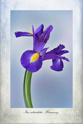 Iris Reticulata Poster by John Edwards