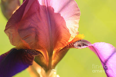 Iris Study 6 Poster by Jeanette French