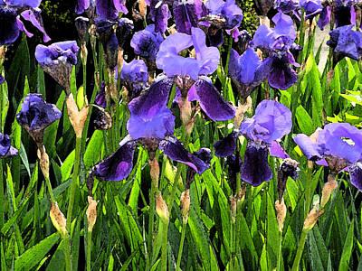 Iris Tectorum Poster