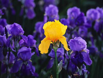 Iris Xxiii Poster