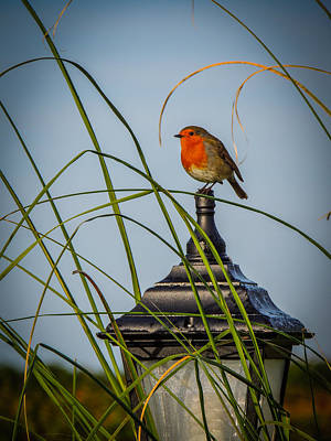 Irish Robin Perched On Garden Lamp Poster