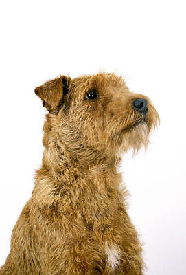 Irish Terrier Poster by Gerard Lacz