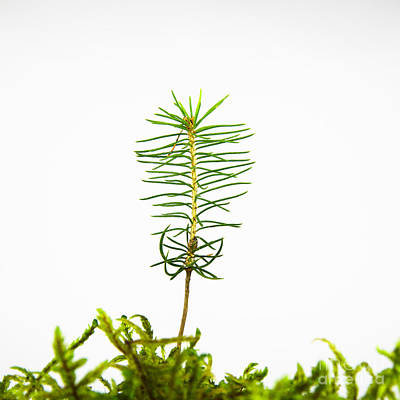 Isolated Spruce Seedling Poster