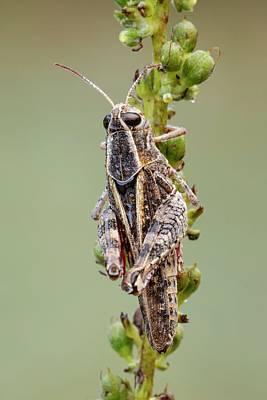 Italian Locust Poster by Heath Mcdonald