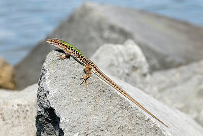 Italian Wall Lizard Basking On A Rock Poster