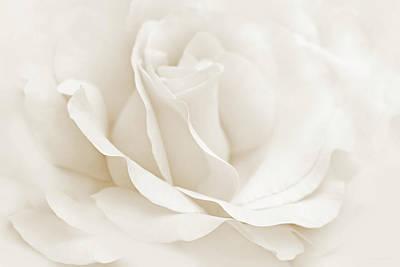 Ivory Ballerina Rose Flower Poster