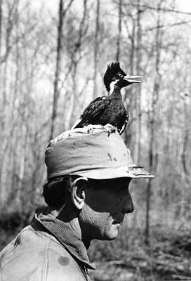 Ivory-billed Woodpecker Nestling Poster by James T. Tanner