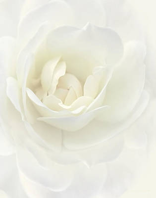 Ivory Dream Rose Flower Poster by Jennie Marie Schell
