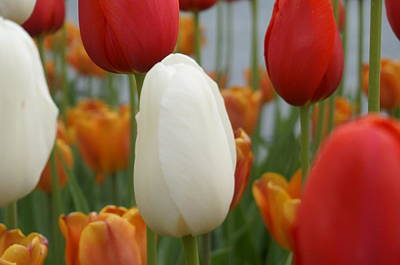 Ivory Floradale Darwin Hybrid Tulip Poster