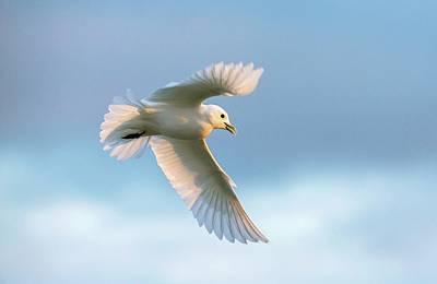 Ivory Gull In Flight Poster