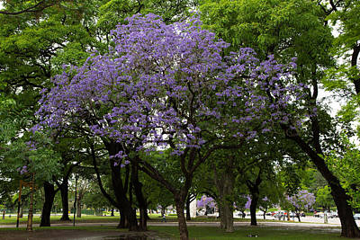 Jacaranda In The Park Poster by John Daly