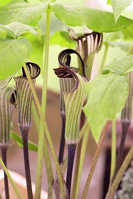 Jack-in-the-pulpit Spadices Poster