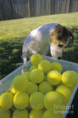 Jack Russell Terrier And Tennis Balls Poster by Jim Corwin