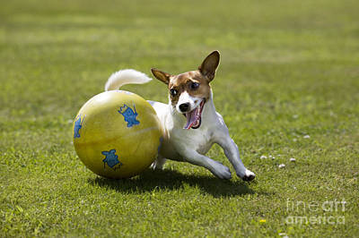 Jack Russell Terrier Plays With Ball Poster