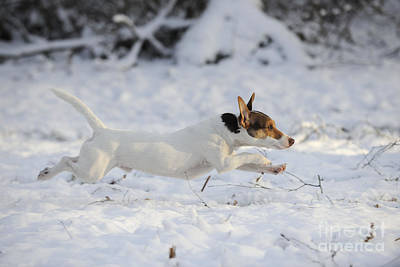 Jack Russell Terrier Running Poster by John Daniels