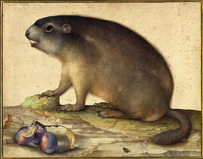 Jacopo Ligozzi Italian, 1547 - 1627, A Marmot With A Branch Poster