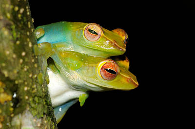 Jade Tree Frogs Mating Poster