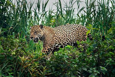 Jaguar Panthera Onca, Pantanal Poster