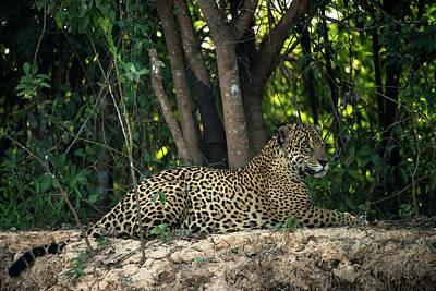 Jaguar (panthera Onca Poster