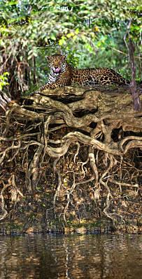 Jaguar Panthera Onca Resting Poster by Panoramic Images