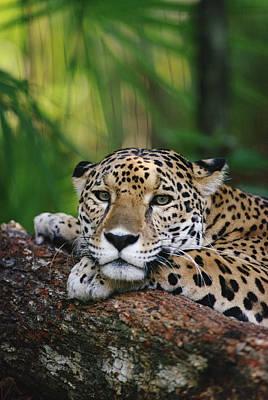 Jaguar Portrait Belize Poster