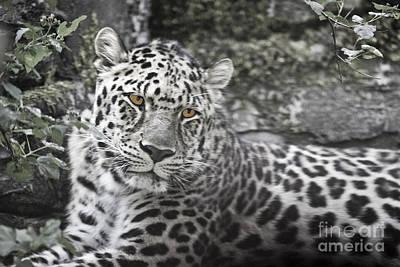 Jaguar Poster by Rich Collins