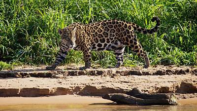 Jaguar River Walk Poster by David Beebe