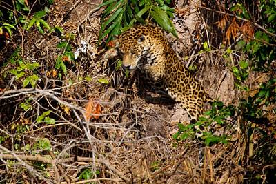 Jaguar Vs Caiman 2 Poster by David Beebe