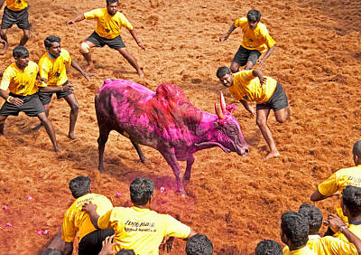 Poster featuring the photograph Jallikattu Bull Fighting by Dennis Cox WorldViews