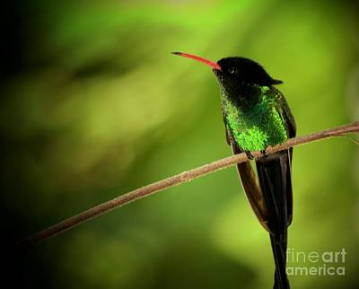 Jamaican Hummingbird 2 Poster by Marjorie Imbeau