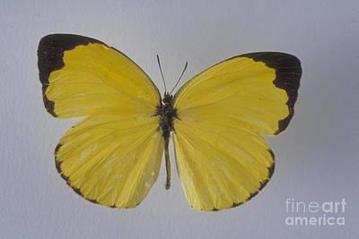 Jamaican Orange Butterfly Poster by Barbara Strnadova