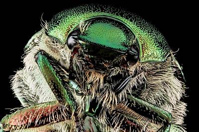 Japanese Beetle Poster by Us Geological Survey
