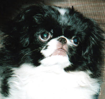 Japanese Chin Puppy Portrait Poster by Jim Fitzpatrick