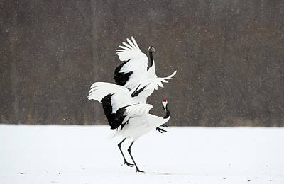 Japanese Cranes Displaying Poster
