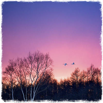 Japanese Cranes Flying To Roost Hokkaido Japan Poster