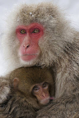 Japanese Macaque And Baby Poster by Hiroya Minakuchi