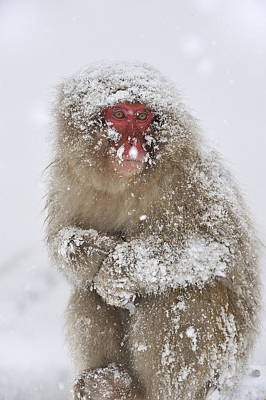 Japanese Macaque In Winter Jigokudani Poster by Thomas Marent