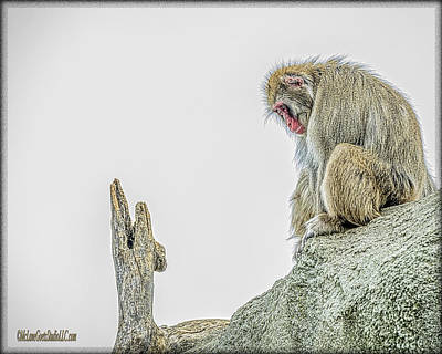 Japanese Macaque Snow Monkey   Poster