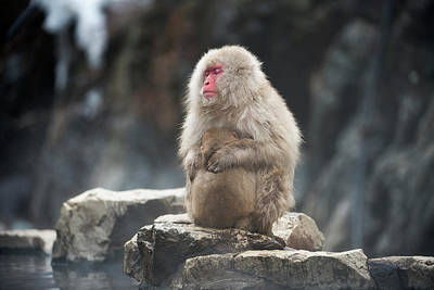 Japanese Macaque With Young Poster