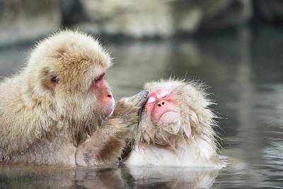 Japanese Macaques Grooming Poster by Dr P. Marazzi