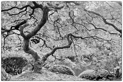 Japanese Maple Black And White Poster