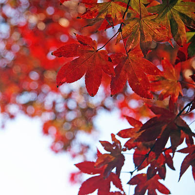 Poster featuring the photograph Japanese Maple In Fall by Brooke T Ryan
