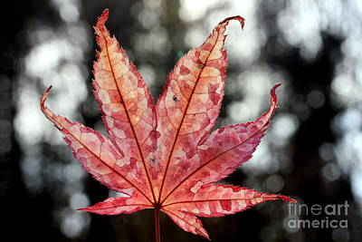 Poster featuring the photograph Japanese Maple Leaf - 2 by Kenny Glotfelty