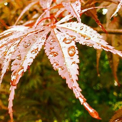 Japanese Maple Leaves Poster by Marianna Mills