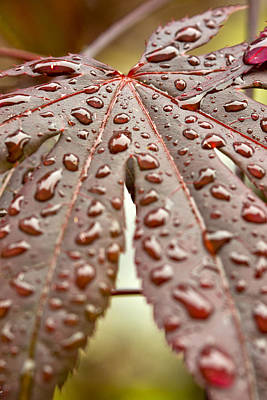 Japanese Maple Tree Leaf Waterdrops Poster