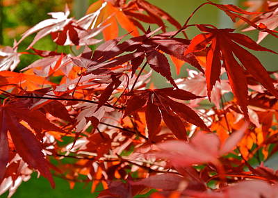 Japanese Red Leaf Maple Poster by Kirsten Giving